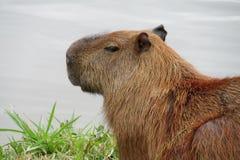 坐在湖附近的水豚画象 免版税库存照片