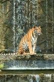 坐在瀑布前面的印度支那的老虎 库存图片