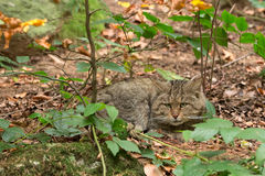 坐在灌木之间的欧洲野生猫(猫属silvestris) 免版税库存图片