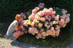 坐在灌木开花的八仙花属附近的女孩 库存图片