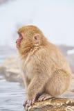 坐在热的水池的雪猴子 免版税库存图片