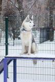 坐在狗操场的多壳的狗 免版税库存图片