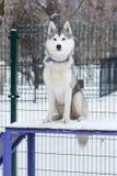 坐在狗操场的多壳的狗 免版税库存照片