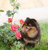 坐在玫瑰旁边灌木的一条美丽的黑德国品种狗  免版税库存图片