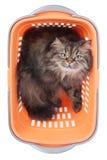 坐在白色的手提篮的猫 免版税库存照片