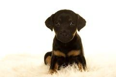 坐在白色的杰克罗素小狗 库存照片