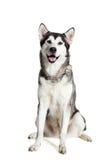 坐在白色背景前面的阿拉斯加的爱斯基摩狗 免版税库存照片