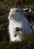 坐在石南花中的苏格兰山野兔在早期的春天 免版税库存照片