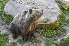 坐在石头旁边的棕熊 库存图片