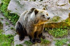 坐在石头旁边的棕熊 免版税库存照片