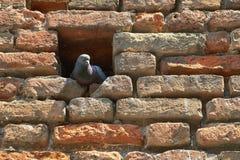 坐在砖墙的一个适当位置的鸠 库存照片