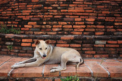 坐在砖墙附近的泰国狗 免版税库存图片