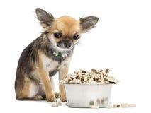 坐在碗的有罪奇瓦瓦狗食物旁边 免版税库存图片
