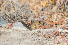 坐在秋天灌木的地松鼠 图库摄影