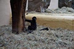 坐在秸杆的黑带头的蜘蛛猴婴孩 免版税库存图片