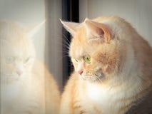 坐在窗口附近的美丽的哀伤的乳脂状的虎斑猫 免版税库存图片