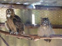 坐在笼子的两头大俏丽的猫头鹰一个分支 库存图片