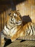 坐在笼子的大老虎朝右边看 库存照片