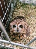 坐在笼子的布朗猫头鹰 免版税图库摄影
