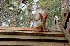 坐在笼子的红松鼠 库存图片