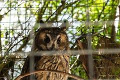 坐在笼子的西伯利亚猫头鹰 库存图片