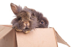 坐在箱子的两逗人喜爱的狮子头兔子bunnys 库存图片