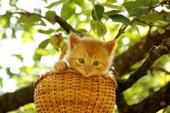 坐在篮子的可爱的姜小猫 库存照片