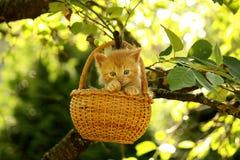 坐在篮子的可爱的姜小猫 图库摄影