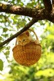 坐在篮子的可爱的姜小猫 免版税库存图片