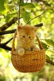 坐在篮子的可爱的姜小猫 免版税图库摄影