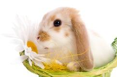 坐在篮子的复活节兔子 库存图片