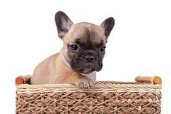 坐在篮子的法国牛头犬小狗 图库摄影