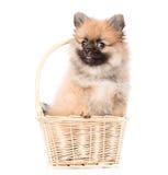 坐在篮子的波美丝毛狗小狗 背景查出的白色 库存照片