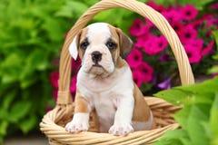 坐在篮子的英国牛头犬混合小狗在花圃里 库存图片
