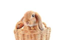 坐在篮子的逗人喜爱的法国人Lop兔子 库存图片