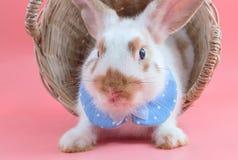 坐在篮子的逗人喜爱的短发兔子 免版税图库摄影