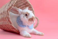 坐在篮子的逗人喜爱的短发兔子 免版税库存图片