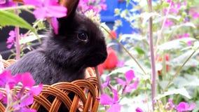 坐在篮子的逗人喜爱的矮小的黑兔子和吃春天花 复活节的概念 股票录像
