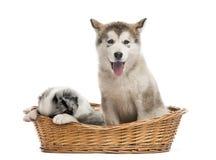 坐在篮子的阿拉斯加的爱斯基摩狗和杂种小狗 免版税库存照片