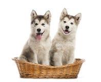 坐在篮子的阿拉斯加的爱斯基摩狗小狗 库存照片