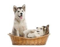 坐在篮子的阿拉斯加的爱斯基摩狗小狗 免版税库存照片
