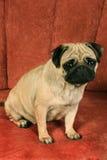 坐在红色背景前面的哈巴狗。 免版税库存图片