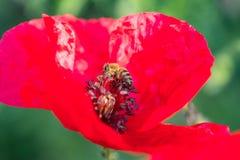 坐在红色鸦片花里面的蜂蜜蜂 重点 免版税库存图片