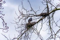 坐在美丽的英国C的Chilliwack附近的群伟大蓝色的苍鹭的巢 库存图片