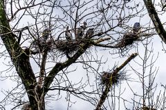 坐在美丽的英国C的Chilliwack附近的群伟大蓝色的苍鹭的巢 免版税库存照片