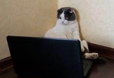 坐在膝上型计算机和凝视前面的严肃的猫在显示器 免版税图库摄影