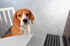坐在膝上型计算机的小猎犬狗 狗膝上型计算机使用 库存照片