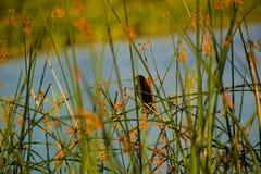 坐在芦苇的红翼歌鸫黑鹂由池塘 免版税库存图片