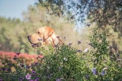 坐在花中的黄色拉布拉多猎犬 免版税库存图片