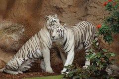 坐在花旁边的两只白色老虎 免版税库存照片